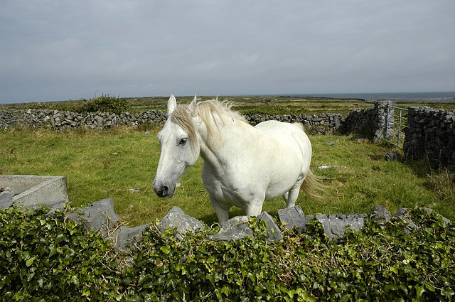 Imagen de un caballo blanco