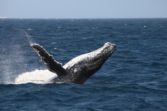 Imagen de ballena