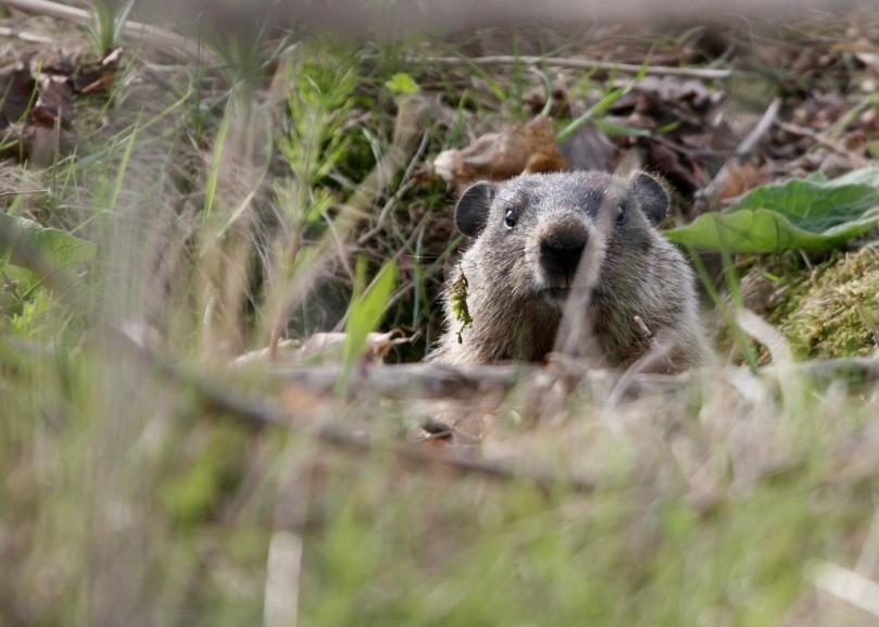 Imagen de marmota